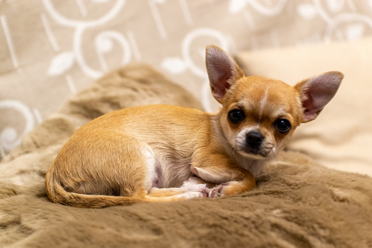 Most Amazing Guide About Chihuahua Personality You Must Read